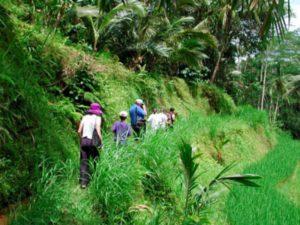 bali, adventure, tours, trekking, bali adventure, bali adventure tours, bali adventure tours trekking, triple trekking, rice paddy