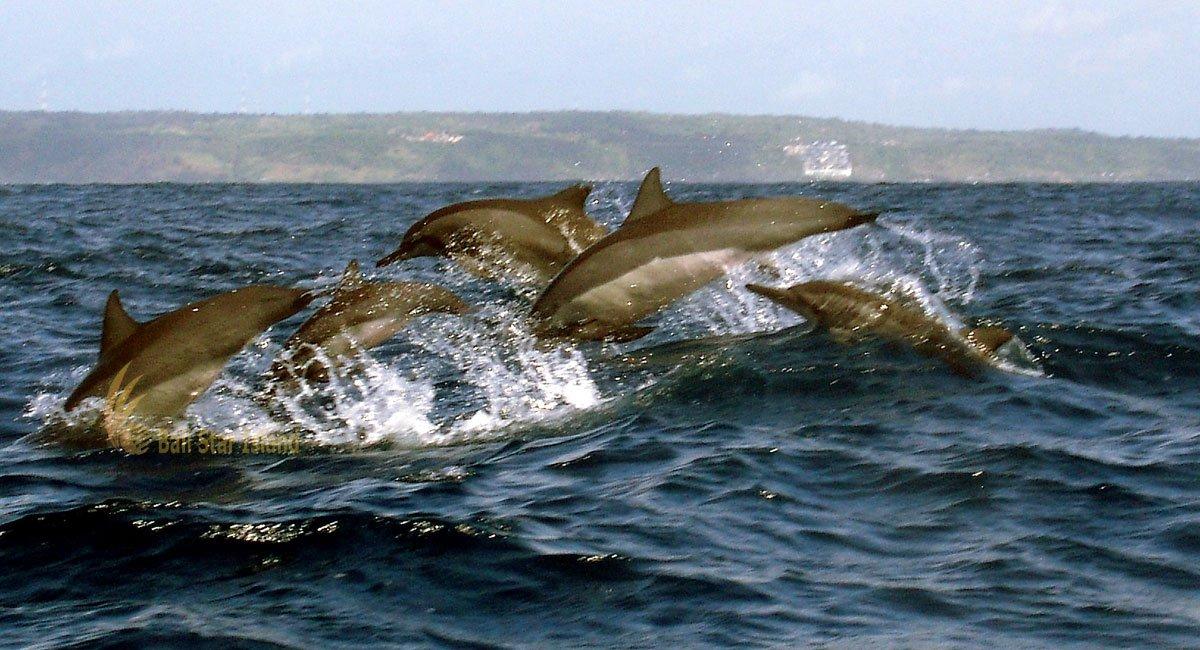 Bali Dolphin Watching Tours