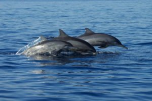bali, dolphins, tours, marine, water sport, activities, bali dolphins, bali dolphin watching tour, bali dolphin tour, marine water sport, water sport activities, cute dolphins