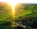 Bali Wellness Package bridge, jatiluwih, bali, unesco, world, heritages, sites, rice, paddy, terrace, rice terrace, jatiluwih rice terrace, unesco world heritages
