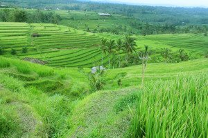 resources, jatiluwih, bali, unesco, world, heritages, sites, rice, paddy, terrace, rice terrace, jatiluwih rice terrace, unesco world heritages