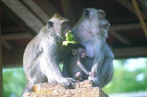 pulaki, bali, singaraja, temples, pulaki temples, singaraja bali, bali temples, tourists, tourist destinations, bali tourist destinations, macaca, monkeys