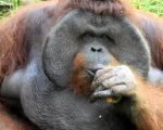 bali zoo, zoo, orangutan