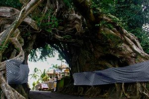 hollow banyan tree, bali, bunut bolong, place of interest, bunut bolong bali, unique tree, sacred banyan tree