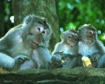 Macaca fascicularis, ubud village tour bali shore excursions