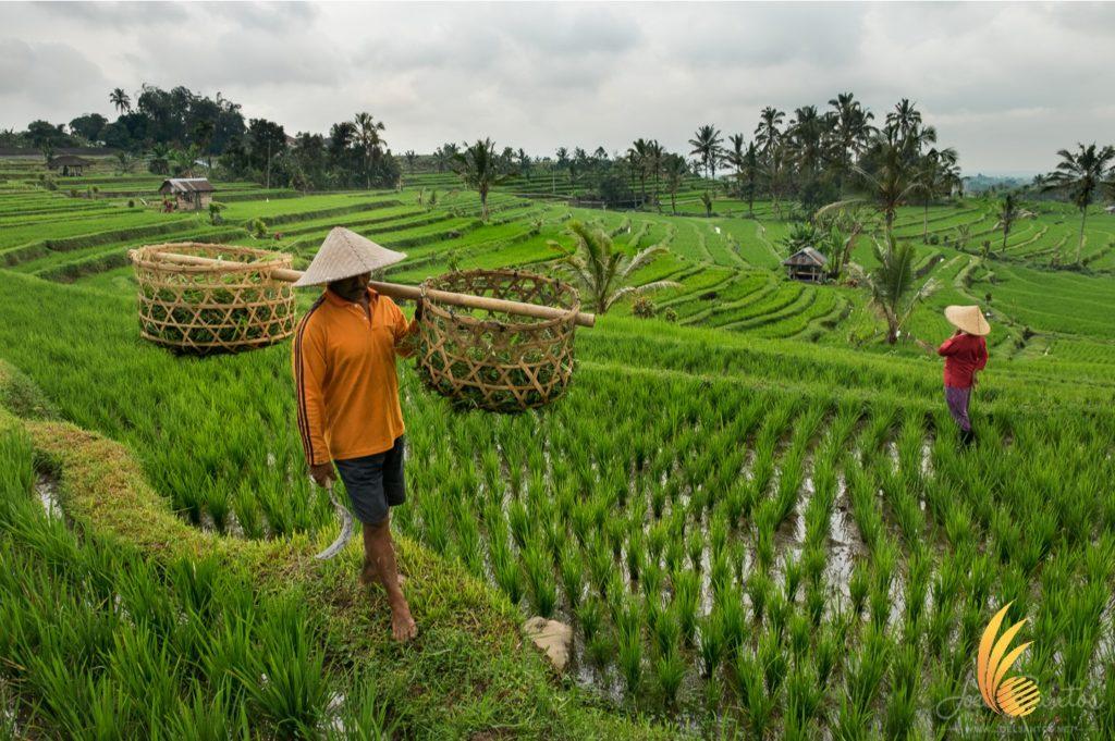 bali full day tour subak organization, subak, farm, bali farm, bali agriculture