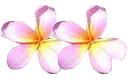 cambodia, flower, jepun flower