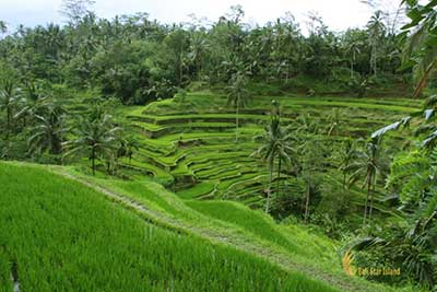 Indonesia leading tours and travel tegalalang, rice, terrace, ubud, bali, places, interest, tegalalang rice terrace, places of interest, bali places of interest
