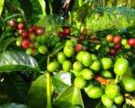 bali, coffee, luwak, plantations, bali coffee, luwak coffee, coffee plantations, bali coffee plantations, luwak coffee bali, bali luwak coffee, arabic coffee