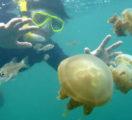Kakaban Lake Underwater Biota