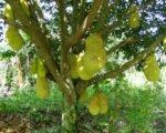 jack fruit, indonesia, bali, agricultural, bali agricultural