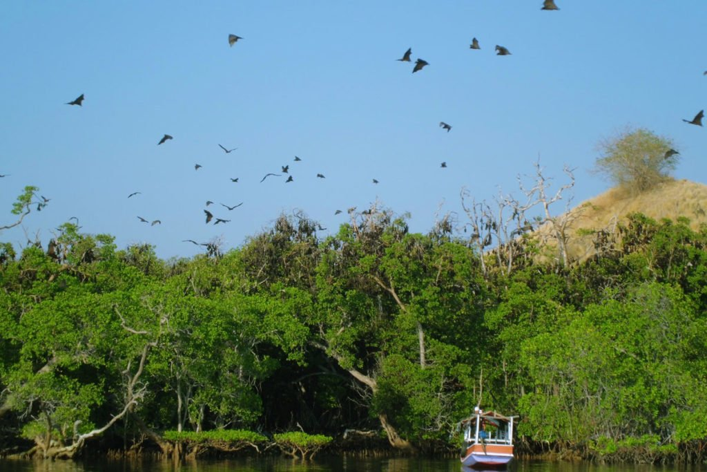 mangrove, bat habitas, kalong, kalong island, bats, komodo, komodo national park, kalong island, bat island