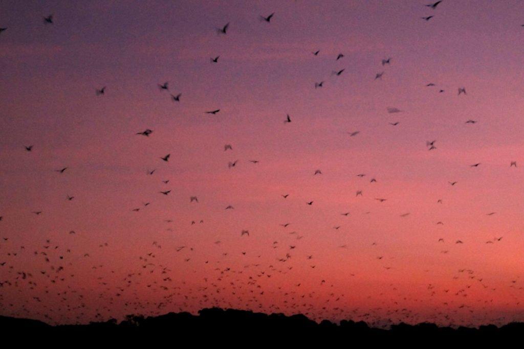 thousand bats, kalong, kalong island, bats, komodo, komodo national park, kalong island, bat island