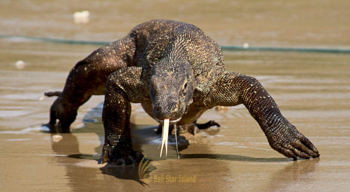 Komodo Dragons | World Biggest Lizards