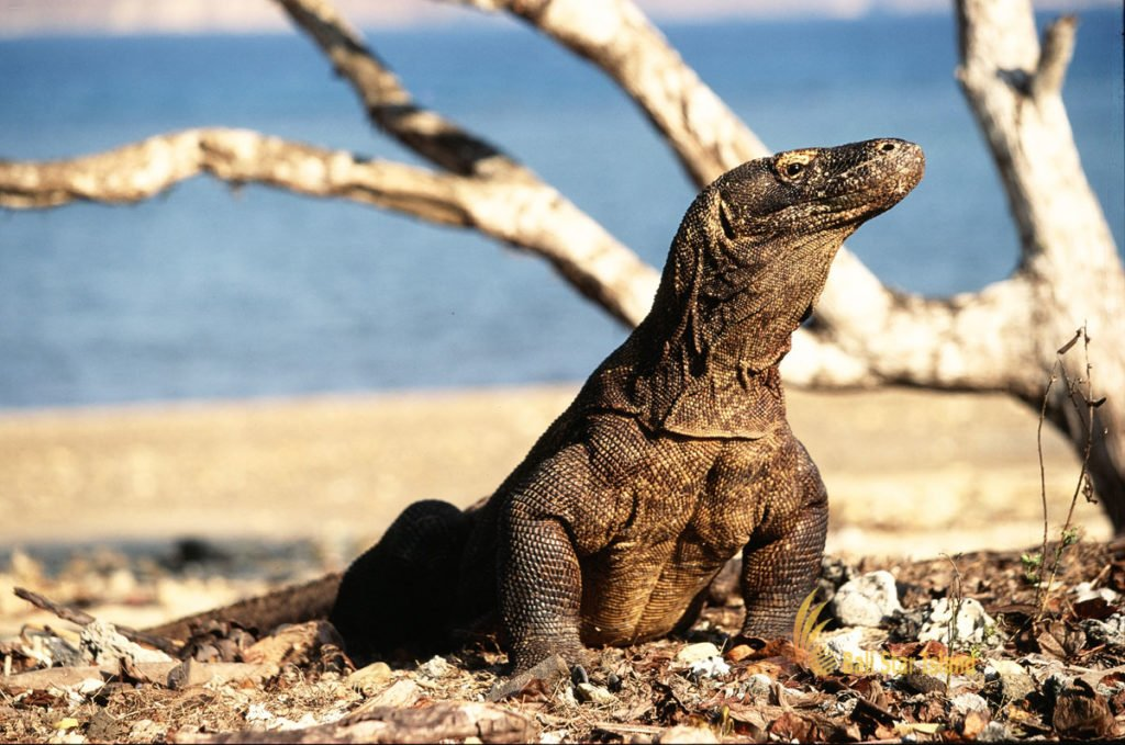 tour arrangements, komodo dragon tours, komodo tours, komodo tour packages, visit komodo national park