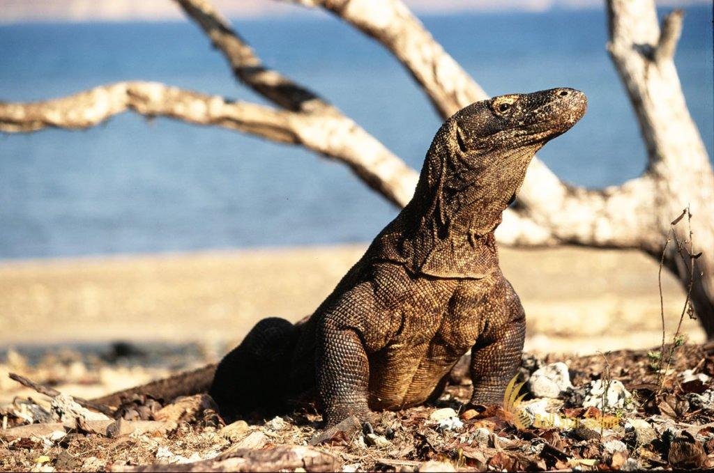 tour arrangements, komodo dragon tours, komodo tours, komodo tour packages, visit komodo national park