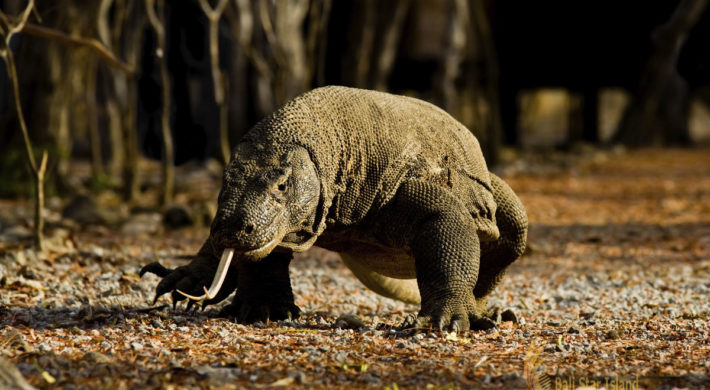 Komodo Tours Itinerary | Komodo Tour Packages 4 Days – 3 Nights