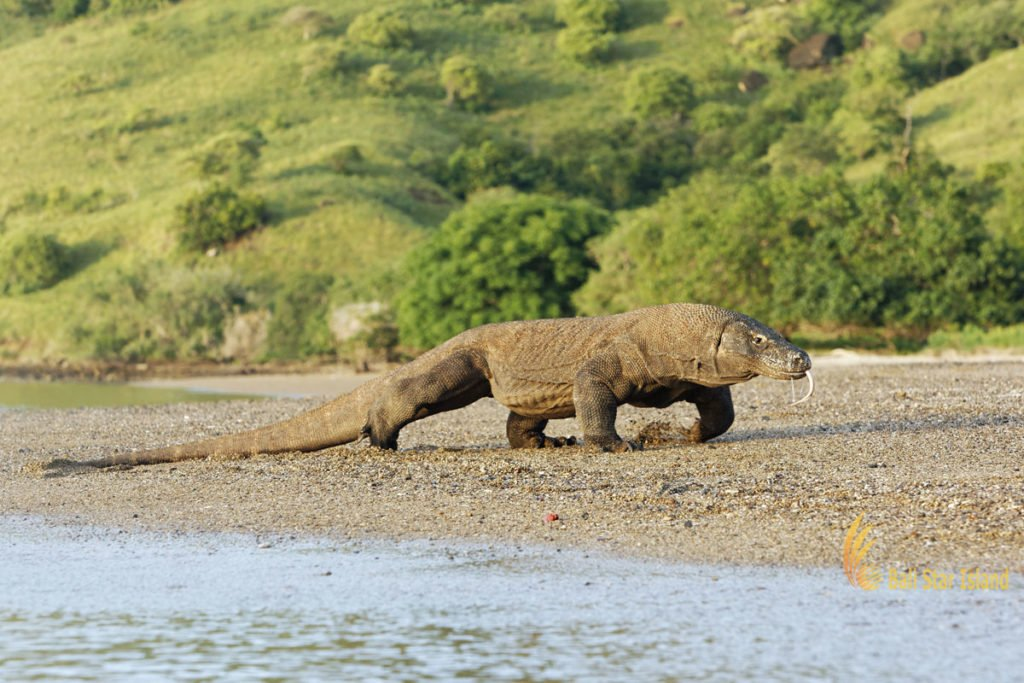 komodo tour 4 days, komodo dragons, komodo, lizards, biggest lizards