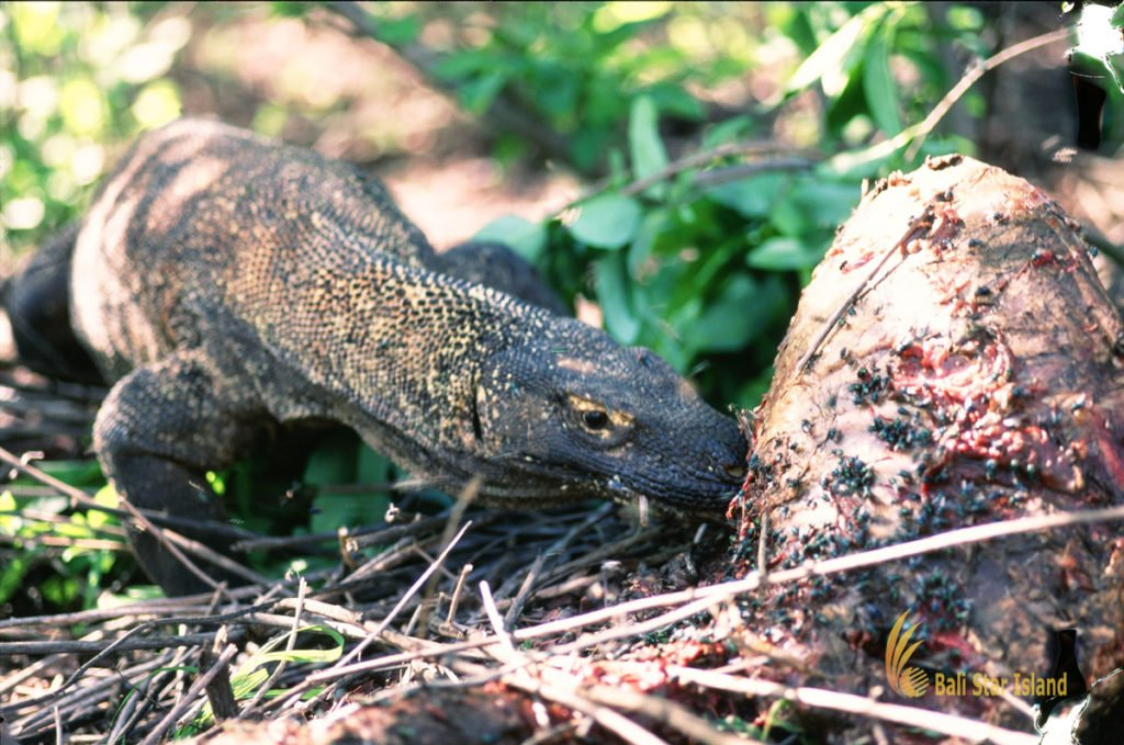 predators, fierce, komodo dragons, komodo, lizards, biggest lizards