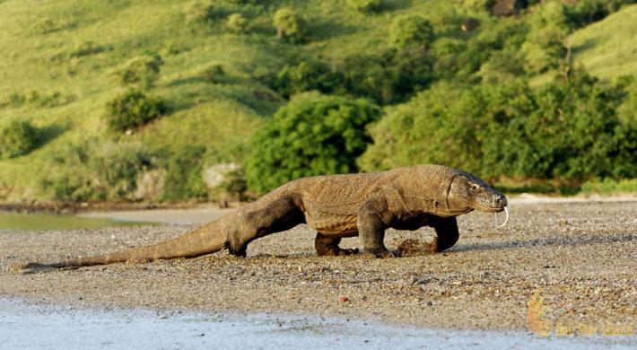 Komodo Island | Giant Lizard Sanctuary