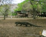 komodo dragons,indonesia travel packages