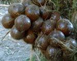 snake fruit, indonesia, bali, agricultural, bali agricultural