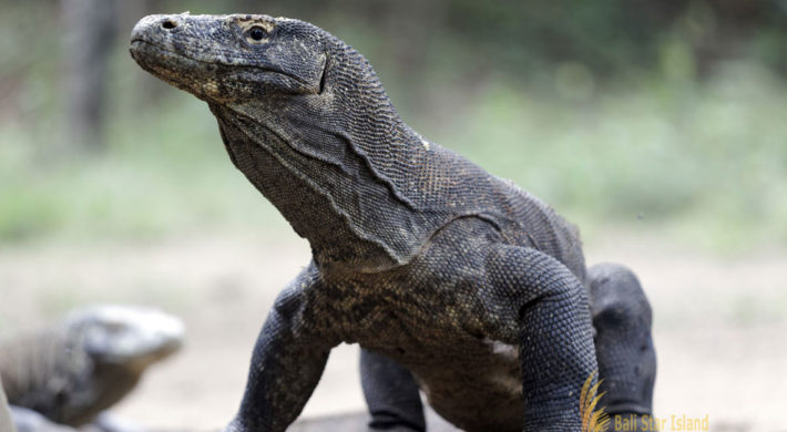 Komodo Tour Packages at 3 Nights and 4 Days