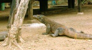 rinca, rinca island, komodo, komodo dragons, komodo national park