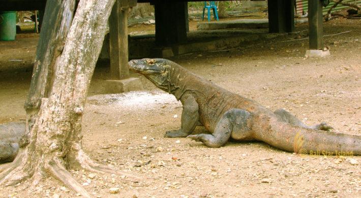 Rinca Island – Komodo Dragons Sanctuary   Komodo National Park
