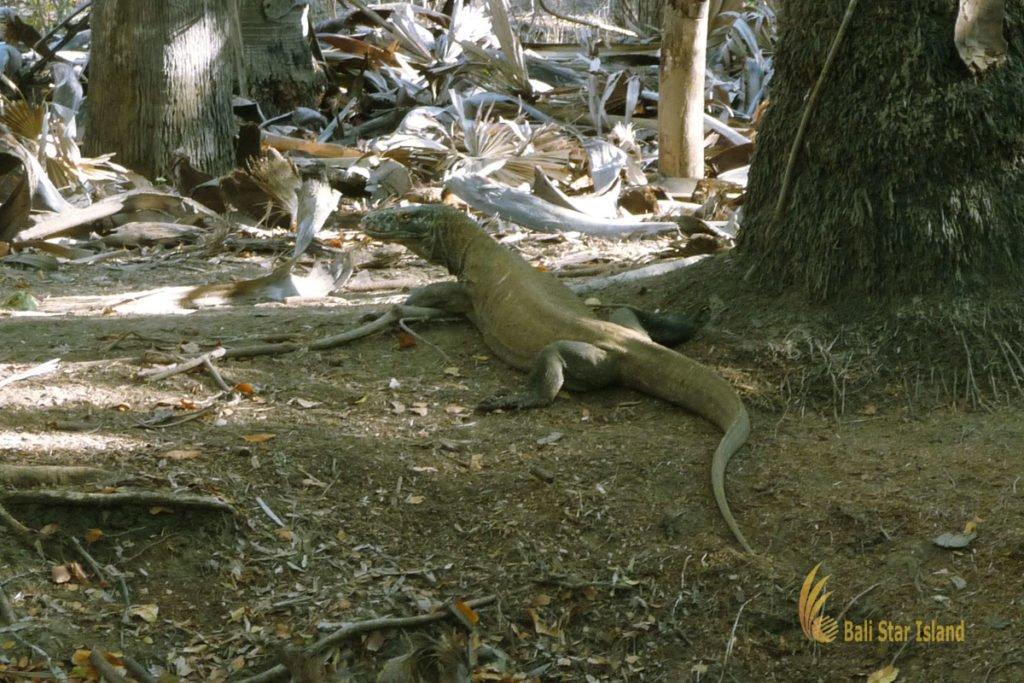 rinca island, komodo, komodo dragons, komodo national park