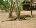 giant lizard, rinca, rinca island, komodo tour 4 days