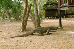 giant lizard, rinca, rinca island, komodo, komodo dragons, komodo national park