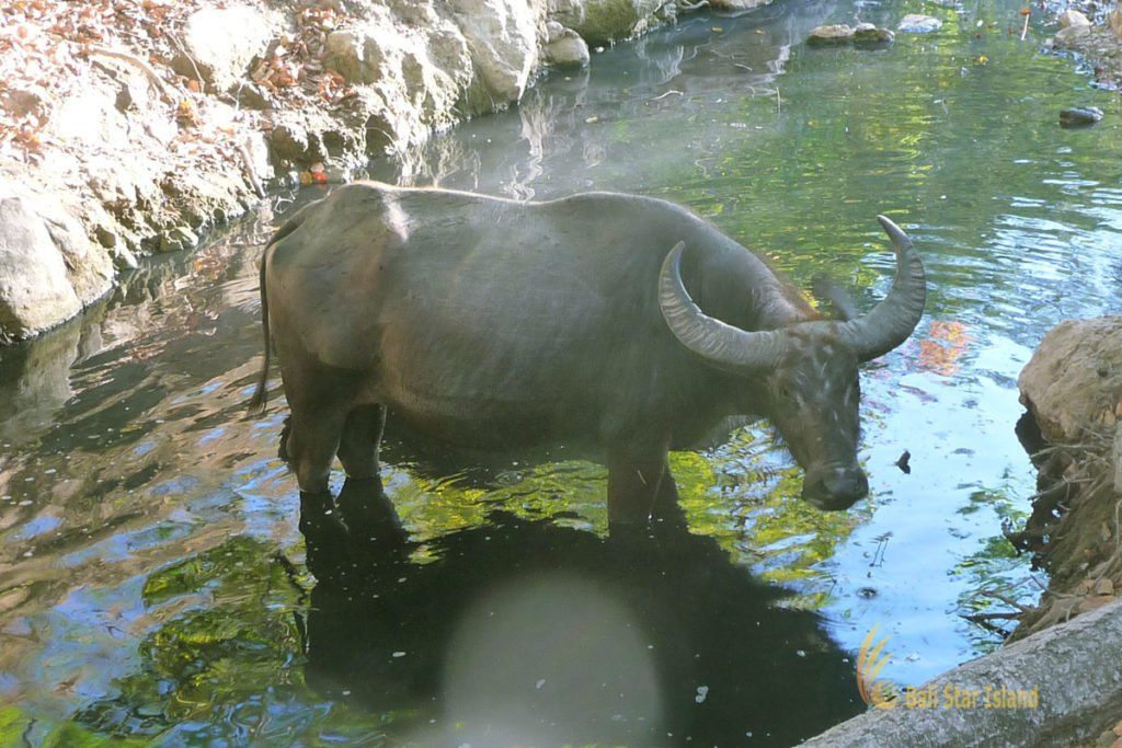 wet buffalo, rinca, rinca island, komodo, komodo dragons, komodo national park