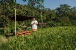 kupu-kupu barong, kupu-kupu barong villa, rice farm kupu-kupu barong villa ubud