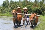 bali, farm, tours, tourist, attractions, bali farm tours