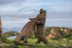 komodo, dragons, flores, island, tours, sightseeing, travels, komodo dragons, dragon tours, komodo tours, komodo dragon tours, flores tours