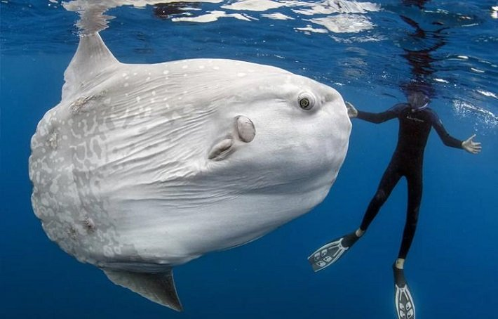 giant-sunfish-crystal-bay